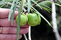 Thevetia peruviana 21zz.jpg