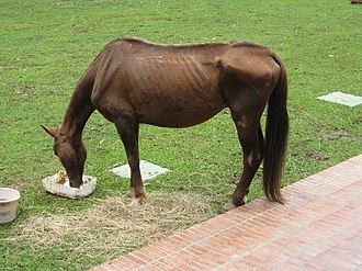 Cruelty to animals - A starved and bruised horse eating at a veterinary clinic after rescue.