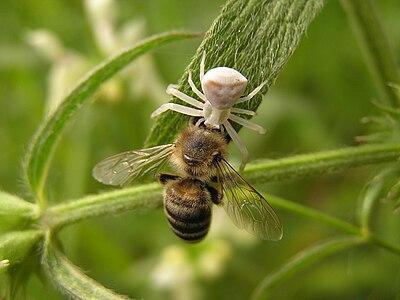 Spider Thomisus onustus and bee Apis mellifera