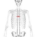 Thoracic vertebra 7 anterior.png