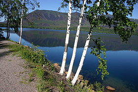 Three Betula papyrifera by McDonald Lake.jpg
