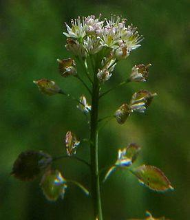 <i>Thysanocarpus</i> genus of plants