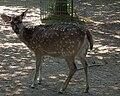 Tierpark Walldorf Axishirsch.JPG