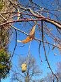 Tilia platyphyllos fruit.jpg