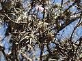 Tillandsia reichenbachii (Pfendbach) 00671.jpg