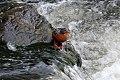 Torrent Duck (Merganetta armata) (8077545159).jpg