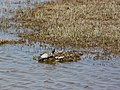 Tortugues de Florida des de l'aguait de la maresma de les Filipines P1100529.jpg