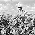 Tot landarbeider omgeschoolde diplomaat aan het werk in de wijngaard van de kibb, Bestanddeelnr 255-0651.jpg