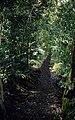 Trail in Akaka Falls State Park, Hawaii, 1959.jpg