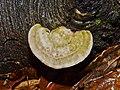 Trametes gibbosa - Buckeltramete - 08.jpg