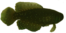 Transparent killifish.png