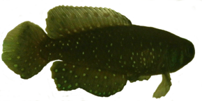 Description de l'image Transparent killifish.png.