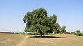 Tree, Bogra.jpg