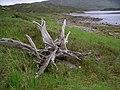 Tree-stump, Loch Quoich. - geograph.org.uk - 188046.jpg
