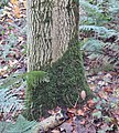 Tree sock on ash, Lambroughton Wood, Chapeltoun, North Ayrshire.jpg