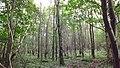 Trees at Crom Estate - panoramio.jpg