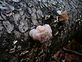 Tremella encephala Pers 221261 2008-10-18.jpg