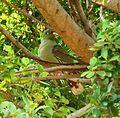 Treron calvus glaucus, in vyeboom, a, Pretoria.jpg
