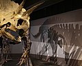 Triceratops from Boston Museum of Science.jpg