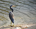 Tricolored Heron - Flickr - Andrea Westmoreland (1).jpg