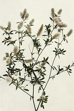Trifolium arvense WFNY-108A.jpg