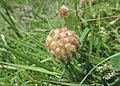 Trifolium fragiferum kz06.jpg
