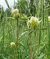 Trifolium ochroleucon 070608b.jpg