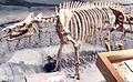 Trigonias skeleton.jpg
