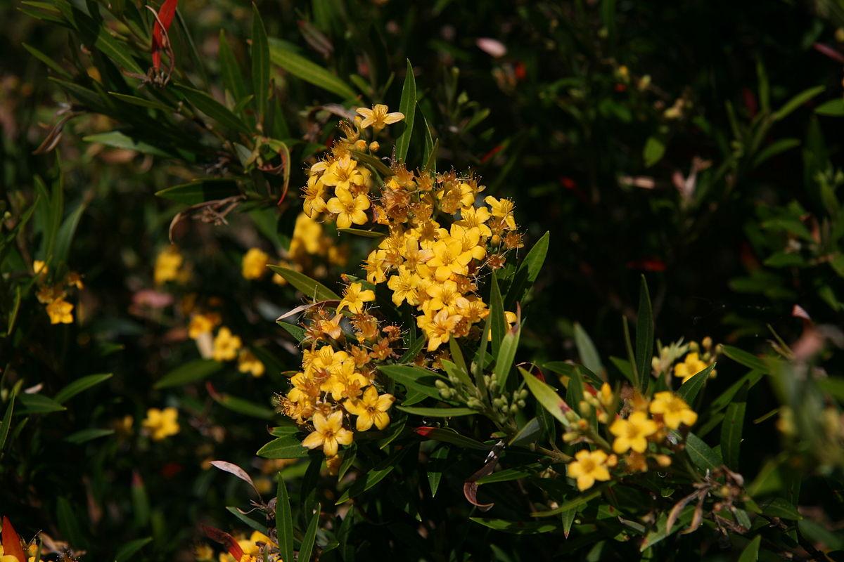 Tristania (plant) - Wikipedia