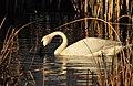 Trumpeter Swan on Seedskadee National Wildlife Refuge (27201067051).jpg