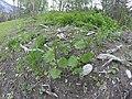 Ts'na - stinging nettle, from near Snuqaax, Nuxalk or Bella Coola.jpg