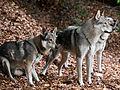 Tschechoslowakischer Wolfshund9.jpg