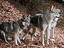Fantastique Chien-loup tchécoslovaque — Wikipédia NL-79