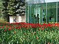Tulip Festival in assiniboine park winnipeg manitoba canada 1 (3).JPG