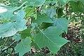 Tulip Tree 2020-06-16 044.jpg