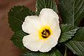 Turnera flower.jpg