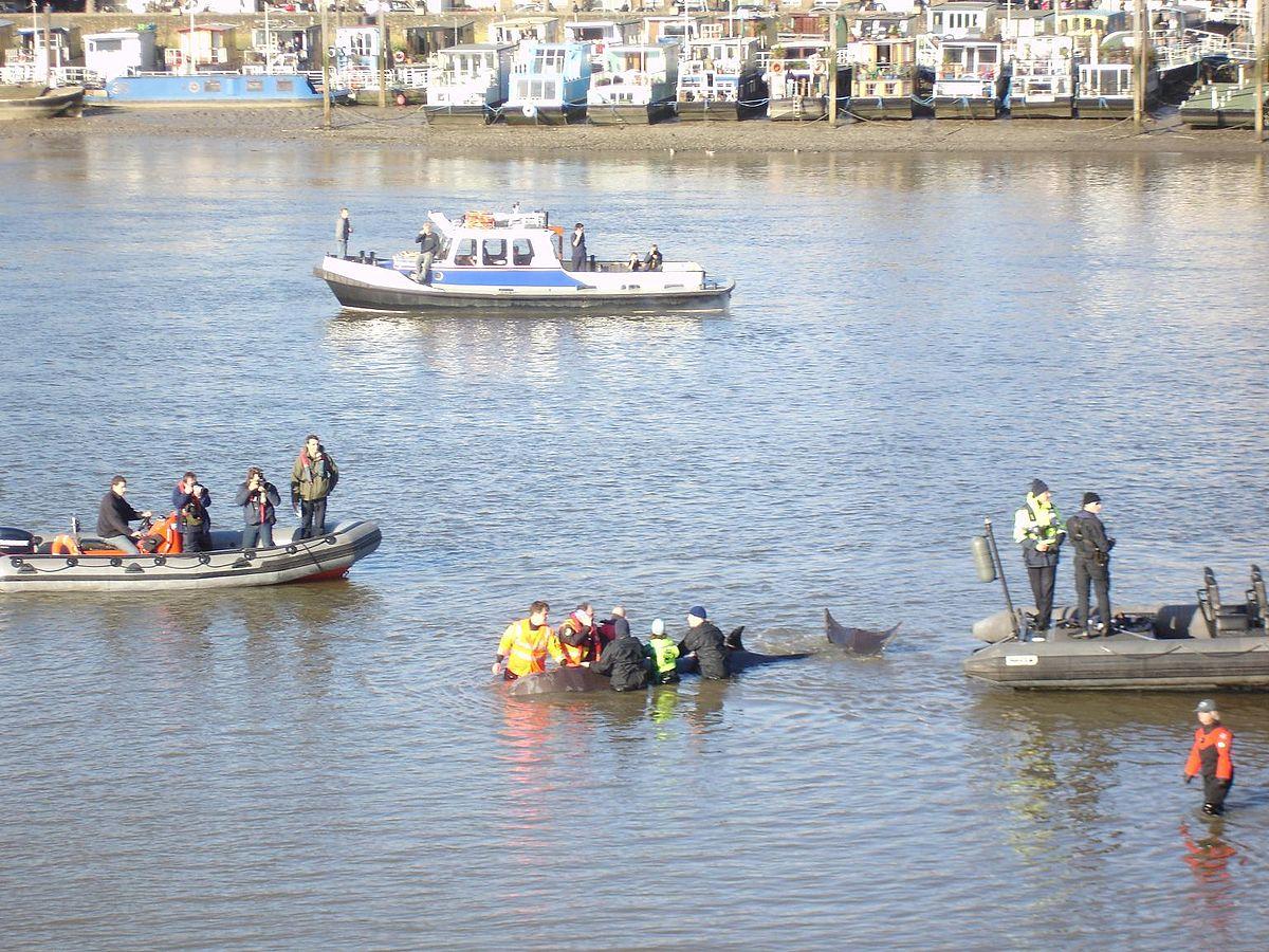 River Thames whale - Wikipedia