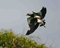 Two Southern Lapwings (Vanellus chilensis) in flight.jpg