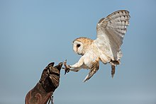 Captive bird landing