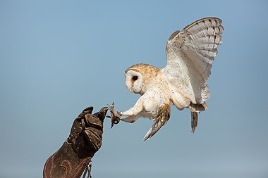Barn owl falconry