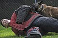 U.S. Air Force Senior Airman Shawn Witcher, assigned to the 673rd Air Base Wing, 673rd Security Forces Squadron, winces as Kimba, a military working dog, locks onto his aggression suit during a training session 130826-F-LX370-796.jpg