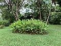 Un bosquet au jardin botanique de Pamplemousses, mars 2020.jpg