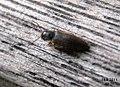 Unid. click beetle (BG) (5855545411).jpg