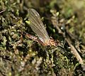 Unid. mayfly - Flickr - S. Rae.jpg
