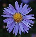 Unidentified Blue and Yellow Flowers 1700px.jpg