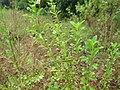 Unidentified Plants - പേരറിയുമോ - 2012-08-22.jpg