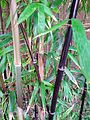 University of Washington Botanic Gardens bamboo.jpg