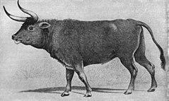 Gravura encontrada no século 19 em Augsburg. Ela pode representar: um auroque; um cruzamento de boi com auroque; ou um boi com aparência de auroque