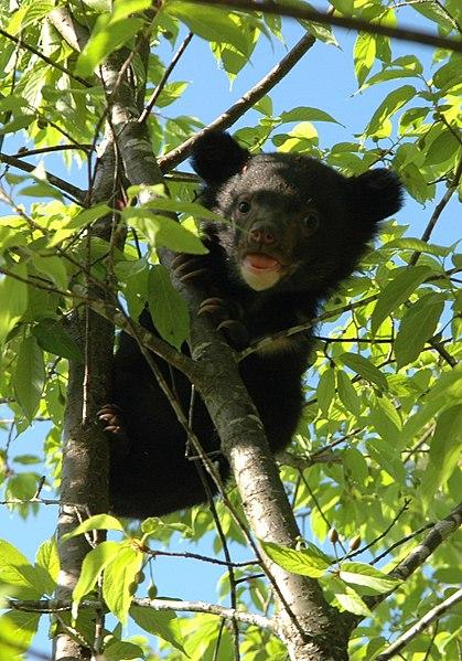 File:Ursus thibetanus formosanus cub on tree.jpg