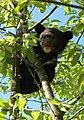 Ursus thibetanus formosanus cub on tree.jpg